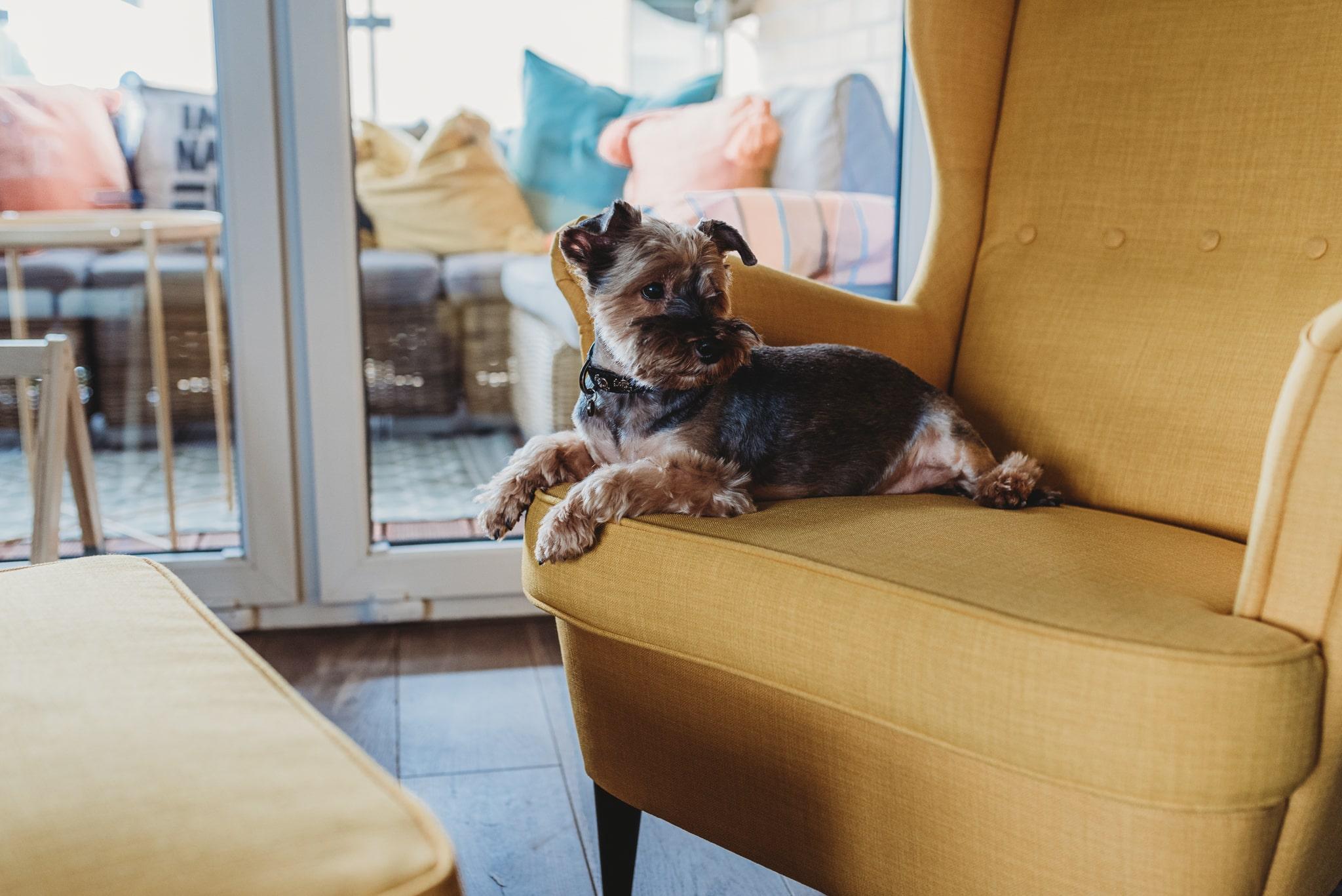 pies na żółtym fotelu