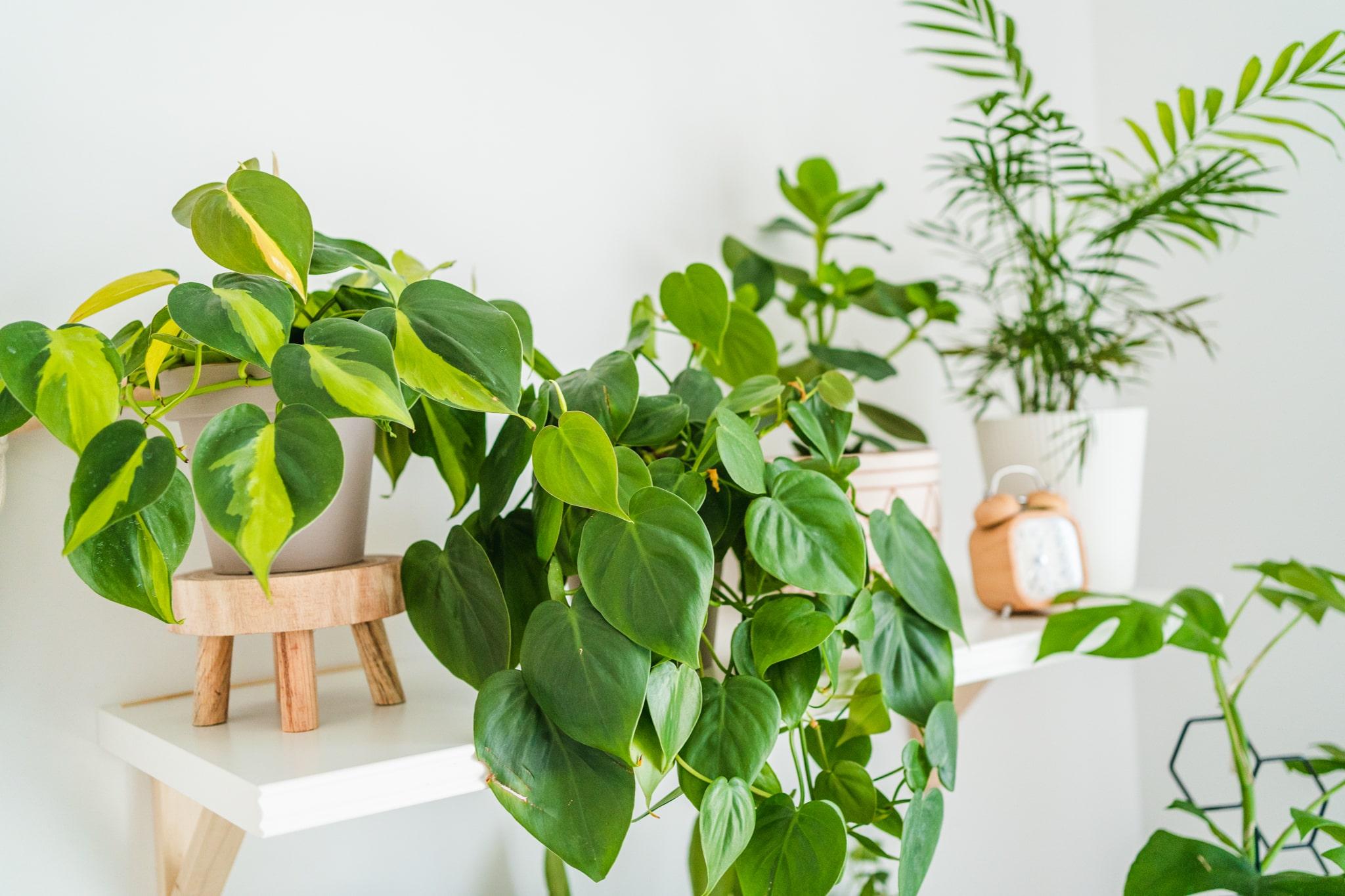 rośliny donieczkowe